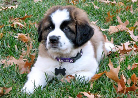 Bernie the Saint Bernard Pictures 950298