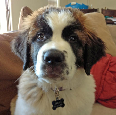 Bernie the Saint Bernard Pictures 950299