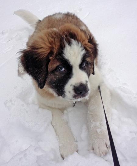 Bernie the Saint Bernard Pictures 950302