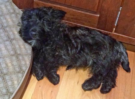 Bernie the Scottish Terrier Pictures 1024950