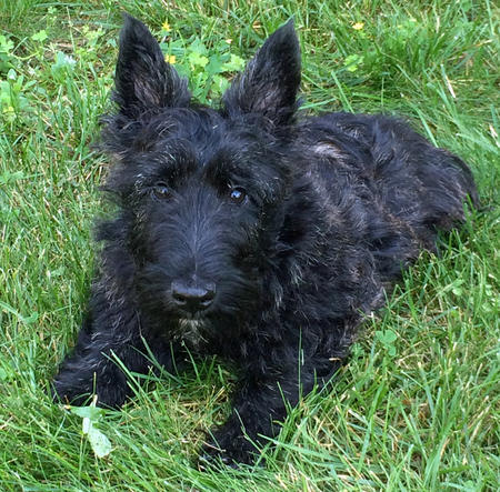Bernie the Scottish Terrier Pictures 1024952
