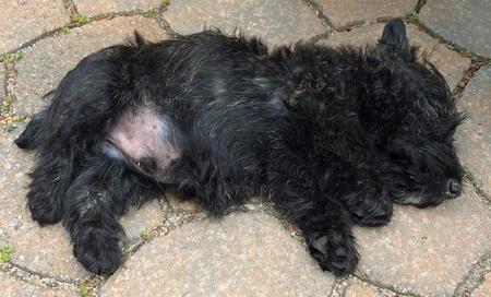 Bernie the Scottish Terrier Pictures 1024953
