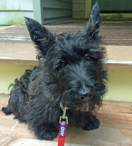 Bernie the Scottish Terrier Pictures 1024954