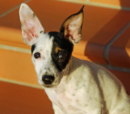 Bertram the Toy Fox Terrier Mix Pictures 535512