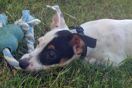 Bertram the Toy Fox Terrier Mix Pictures 535518