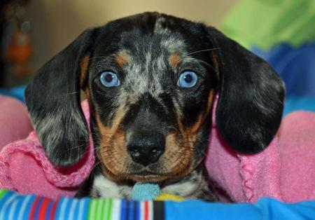 Bienchen the Dachshund Pictures 1014493