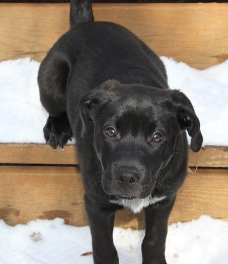 Billie Holiday the Labrador Retriever Mix Pictures 551890