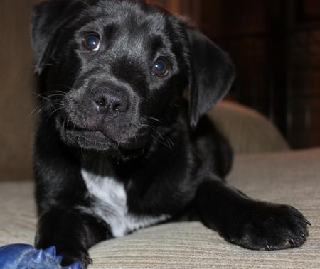 Billie Holiday the Labrador Retriever Mix Pictures 551892