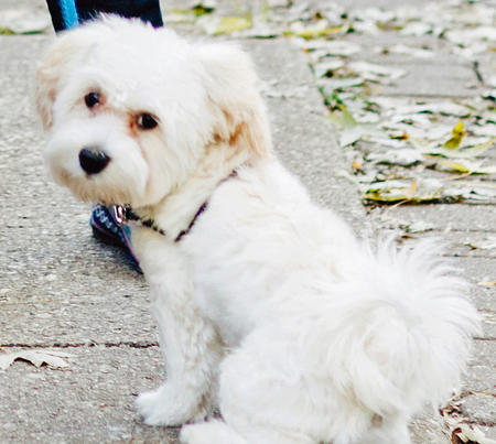 Billy Elliot the Havanese Pictures 1028852