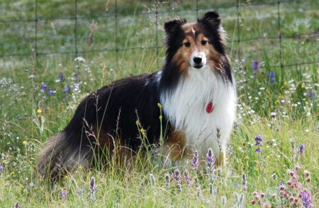 Billy the Shetland Sheepdog Pictures 421975