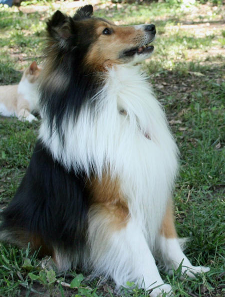 Billy the Shetland Sheepdog Pictures 421979