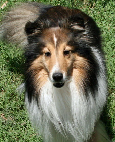 Billy the Shetland Sheepdog Pictures 421980