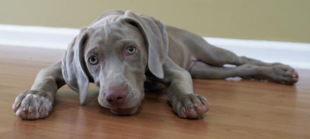 Birch the Weimaraner Pictures 1026573