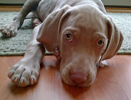 Birch the Weimaraner Pictures 1026574