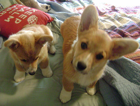 Birdie and Bogey the Corgis Pictures 996663