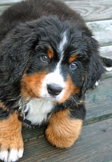 Bishop the Bernese Mountain Dog Pictures 628424