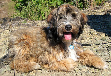 Bishop the Tibetan Terrier Pictures 812993
