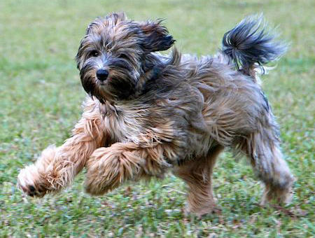 Bishop the Tibetan Terrier Pictures 812995
