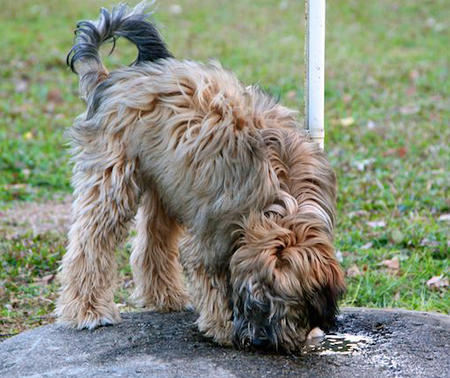 Bishop the Tibetan Terrier Pictures 812996