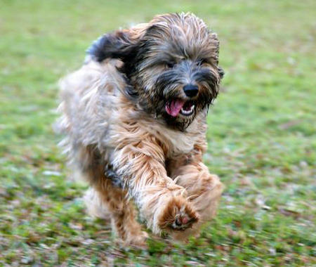Bishop the Tibetan Terrier Pictures 812991