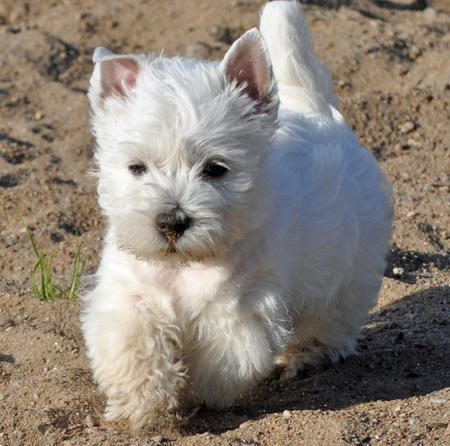 These West Highland White Terriers are the Poster-Pups for ...