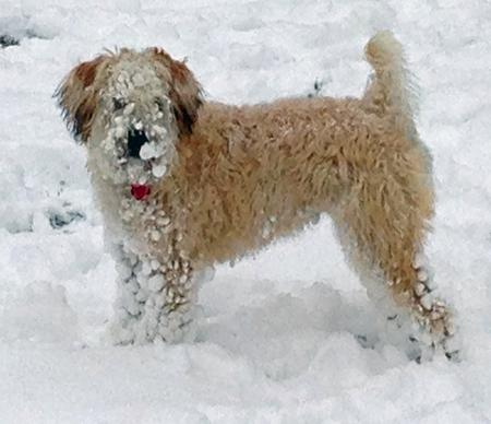 Blanche the Soft Coated Wheaten Terrier Pictures 993717