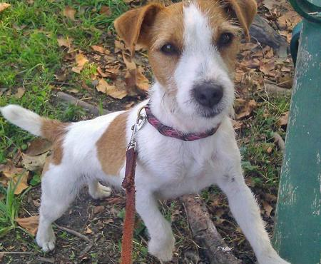 Bling the Jack Russell Terrier Pictures 882620