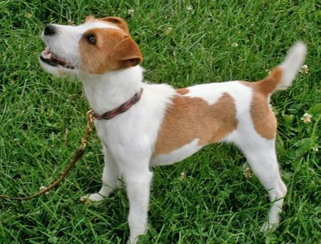 Bling the Jack Russell Terrier Pictures 882622