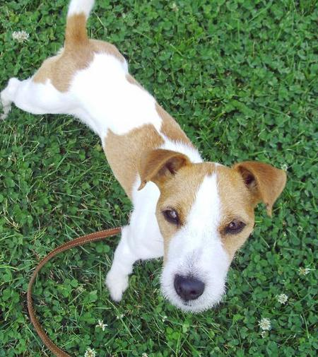 Bling the Jack Russell Terrier Pictures 882624
