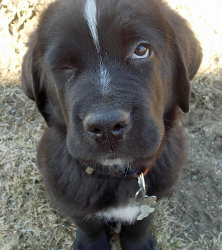 Mix http://www.dailypuppy.com/puppies/blitzen-the-newfoundland-mix