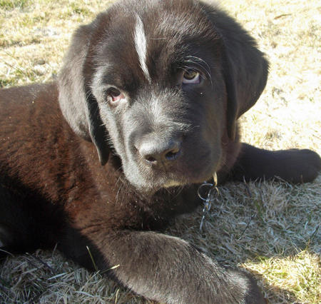 Blitzen the Newfoundland Mix Pictures 964016