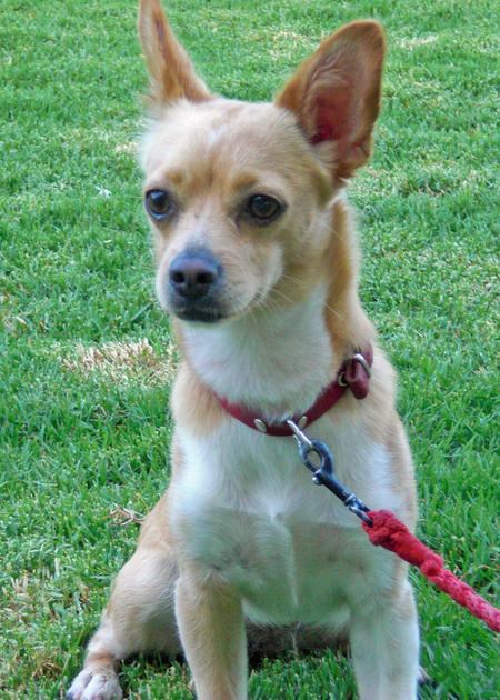 Blondie the Chihuahua Mix Pictures 881325