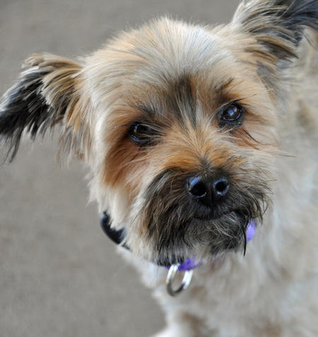 Blossom the Terrier Pictures 444072