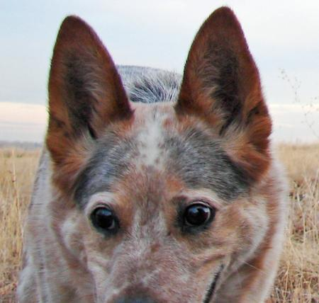 Blue the Australian Cattle Dog Pictures 799796