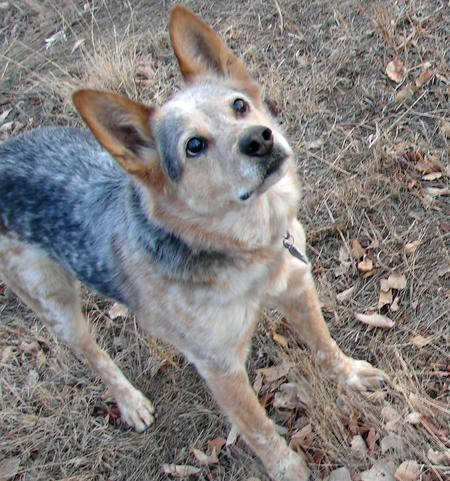 Blue the Australian Cattle Dog Pictures 799797
