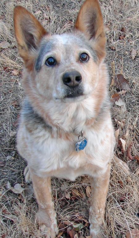 Blue the Australian Cattle Dog Pictures 799794
