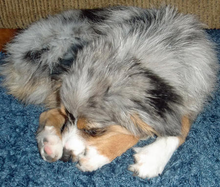 Blue the Australian Shepherd Pictures 801583