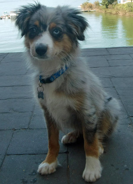 Blue the Australian Shepherd Pictures 801585