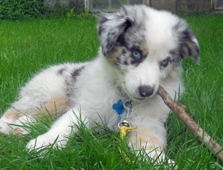 Bo the Australian Shepherd Pictures 825882