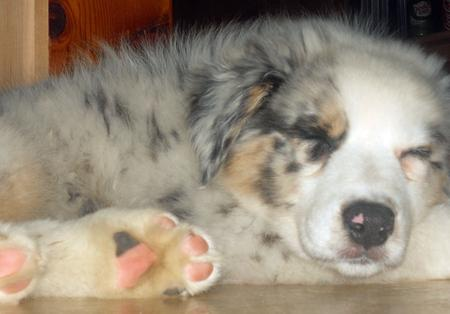 Bo the Australian Shepherd Pictures 825884