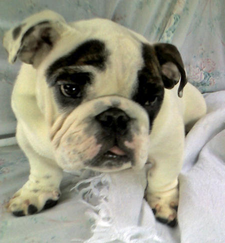 Bo the English Bulldog Pictures 1051815