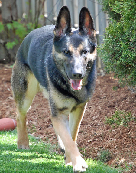 Bo the German Shepherd Pictures 910542