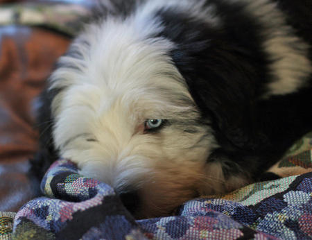 Bode the Old English Sheepdog Pictures 609983