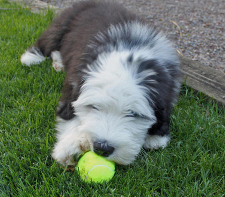 Bode the Old English Sheepdog Pictures 609985