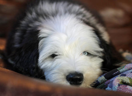 Bode the Old English Sheepdog Pictures 609986
