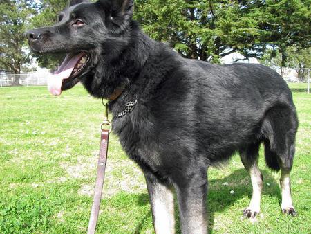 Bodi the German Shepherd Pictures 582220