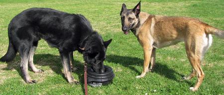 Bodi the German Shepherd Pictures 582221