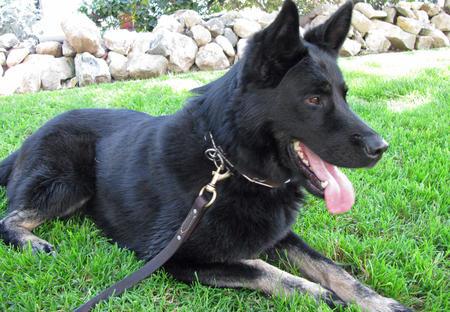 Bodi the German Shepherd Pictures 582223