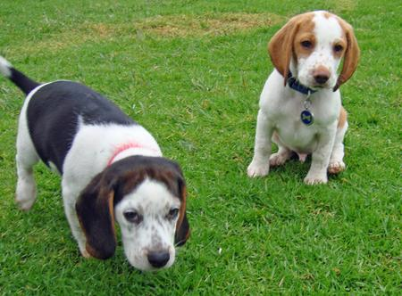 Bodie and Ernie the Beagles Pictures 609876