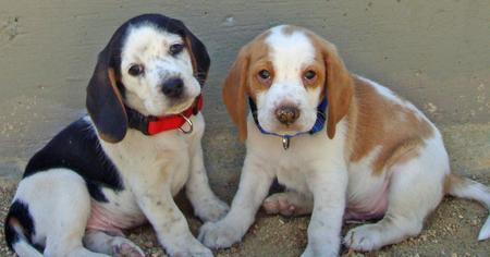 Bodie and Ernie the Beagles Pictures 609871